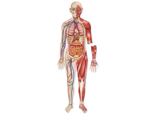 menselijk lichaam magnetisch