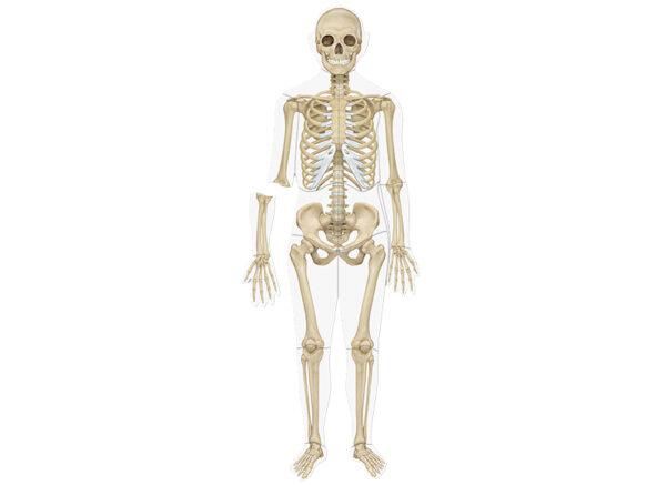 menselijk lichaam magnetisch skelet